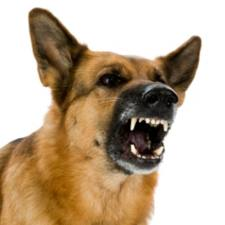 furious-dog-bite-los-angeles-DUI-stop